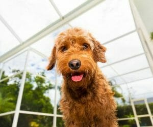 Do Goldendoodles Chew Furniture? How To Protect Furniture From Your Groodle
