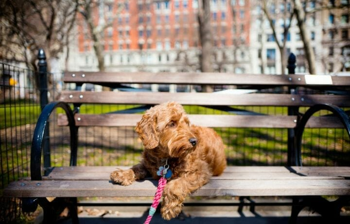 Do Goldendoodles Chew Furniture